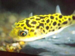 Leopard Puffer - Tropical Fish