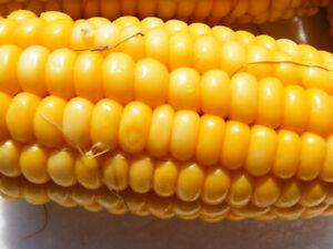 sweet yellow corn : true breed tropical fruit seeds