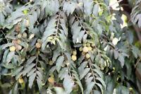 Putranjiva roxburghii Seeds Rare Tropical Beauty Perfect Container Plant