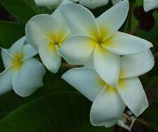 "5 fresh seeds Frangipani Plumeria Rubra ""dosy"" blanc"