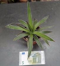 Agave filifera cm.20   resistenza - 10° gradi a pianta asciutta