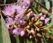 Gooseberry Mallee Seed Small Tree Drought Tolerant (Eucalyptus calycogona)
