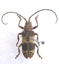 Beetle,Cerambycidae 2 ex TOGO, Afrika, K1/5
