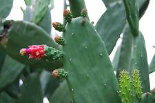 Miniature Prickly Pear Cactus Succulent Terrarium, Rock, or Fairy Garden EZ Care