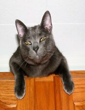 METAL REFRIGERATOR MAGNET Russian Blue Cat Looking At Camera Yellow Eyes Cats