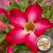 """Jackpot rouge"" Adenium Obesum DESERT ROSE 5 graines fraîches viable, ROYAUME-UNI Supply"