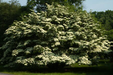 Kousa Dogwood - 3-4' Tall - Healthy Established Roots - 1 Tree in Gallon Pot