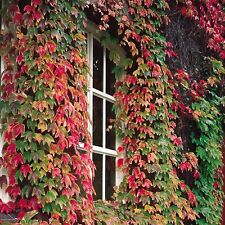 BOSTON IVY SELF CLINGING VINE CREEPER 50 SEEDS