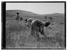 Photo:Arab Peasants. Reaping scenes,Middle East,Farm Life,1898-1946 7536