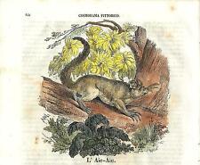 Stampa antica AYE AYE Daubentonia Cosmorama 1840 Old antique print