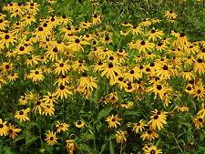 Rudbeckia Goldsturm 25 Plants in 3-1/2 inch Pots Free Shipping