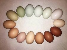15+ Hatching Eggs - Rainbow Eggs Assortment - Rare and Heritage Breeds