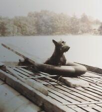 vintage 1940 era Photo Scottish terrier dog n inner tube about to launch n lake!