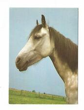 Pferdepostkarte Ak Pferd Anglo-Araber Grauschimmel  Praha Sehr guter Zustand