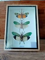 Cicada bugs insects taxidermy real pair entomology frame display diverse learn