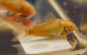 3 ALBINO FRESH WATER  CATS ( 3 FISH)