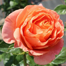Beetrose,* Rose Papagena ® 4 L Topf  besonderes Farbspiel