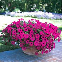 50 Trailing Seeds Petunia Hanging Petunie Hybrida DIY Hausgarten-Blumen Pro X9L9