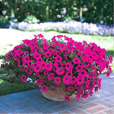50 Trailing Petunia Seeds Hanging Petunie Hybrida DIY Hausgarten-Blumen Samen~