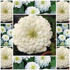 "Zinnia Elegans 50 FLOWER seeds""POLAR BEAR""  SUMMER FLOWER EASY TO GROW"