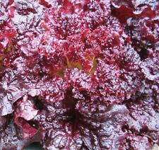 Lettuce - Red Velvet - 2000 Seeds - Lactuca sativa