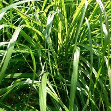 Fragrant 100pcs Lemongrass Herb Cymbopogon Flexuosus Seeds Rich Aroma Decor