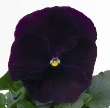 0.2g (appr. 200)  purple pansy seeds VIOLA WITTROCKIANA blooming all the season