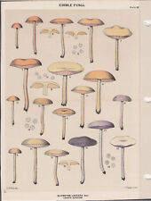 MUSHROOM PRINT. Edible Fungi Of New York. Circa 1900 ~Clitocybe Laccata