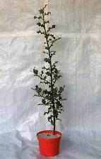 Holly Aquifolium Ilex Standard Tree,Container Grown Plants 75 - 100 cm inc. Pot