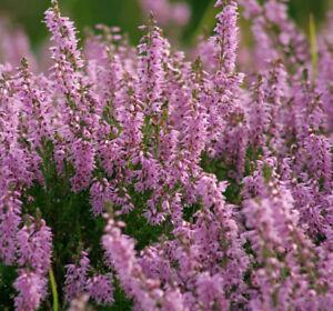 Heather - Calluna vulgaris - 1000 Seeds - Hardy Shrub - Wildflower