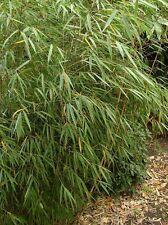Bamboe /Bambou Fargesia scabrida 'Asian Wonder' 3 stuks/pcs