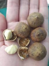 10 seeds Lithocarpus elegans
