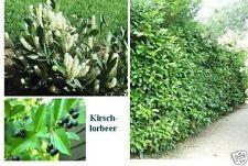 Jetzt pflanzen ! Kirschlorbeer Samen blühende winterharte grüne Heckenpflanzen