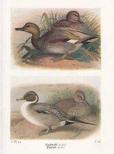 BIRD PRINT 60 YEARS OLD GADWALL & PINTAIL ~ BIRDS OF THE BRITISH ISLES