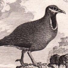 Gravure XVIIIe Pigeon Jamaïque Ring-tailed Pigeon Karibentaub Colombophilie 1770