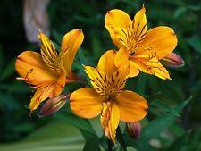 20 Yellow Alstroemeria Lily Seeds Flower Seed Peruvian Perennial 107 Us Seller
