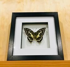 Framed Butterfly, Chequered Swallowtail butterfly, insect taxidermy