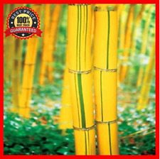 200pc Fesh Fargesia Fungosa Hardy Clumping Bamboo Seeds -Yellow_ Bamboo_ Plants!