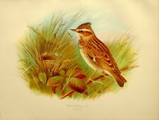 1907 ANTIQUE BIRD PRINT ~ WOOD LARK