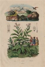 Neritina freshwater snails. Nicotiana (tobacco plant) 1833 old antique print