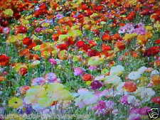 ANNUAL and PERENNIAL WILDFLOWER MIX  25-FLOWER COLORS 1000 SEED BUY-1-GET-1-FREE