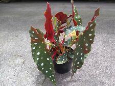 "BEGONIA MACULATA ""Wightii"" Polka Dot Rare Beautiful Plants. Angel Wing. Multi"