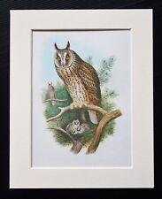 Long Eared Owl Bird - Mounted Vintage John Gould Print 1960s Book Plate