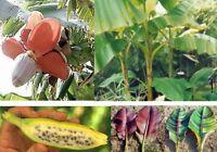 für Bananenfreunde: DREI winterharte gesunde leckere Sorten - alles BANANE !
