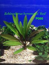 Live Fresh Water Aquatic Plant Echinodorus horemanii 'Red' Potted P066