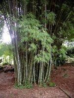 White Waya Bamboo  Clumping. (Dendrocalamus membranaceus ) 100  Seeds