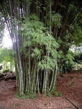 White Waya Bamboo  Clumping. (Dendrocalamus membranaceus ) 50  Seeds