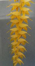 Dendrochilum magnum, orchid species