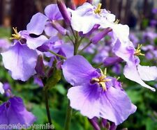 100grams 41,500 Hardy Orychophragmus Violaceus Seeds February Orchid Flower New
