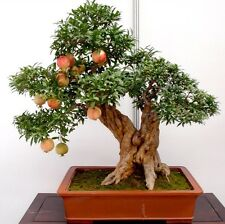 USA-Seller 20pcs bonsai pomegranate seeds very sweet fruit